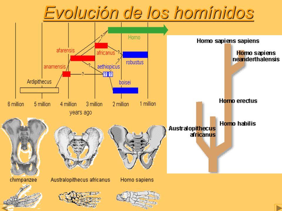 HOMO Este género posee gran diversidad de especies: -Homo habilis.