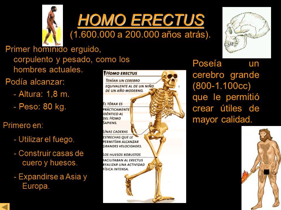 HOMO ERECTUS HOMO ERECTUS (1.600.000 a 200.000 años atrás). Primer homínido erguido, corpulento y pesado, como los hombres actuales. Podía alcanzar: -