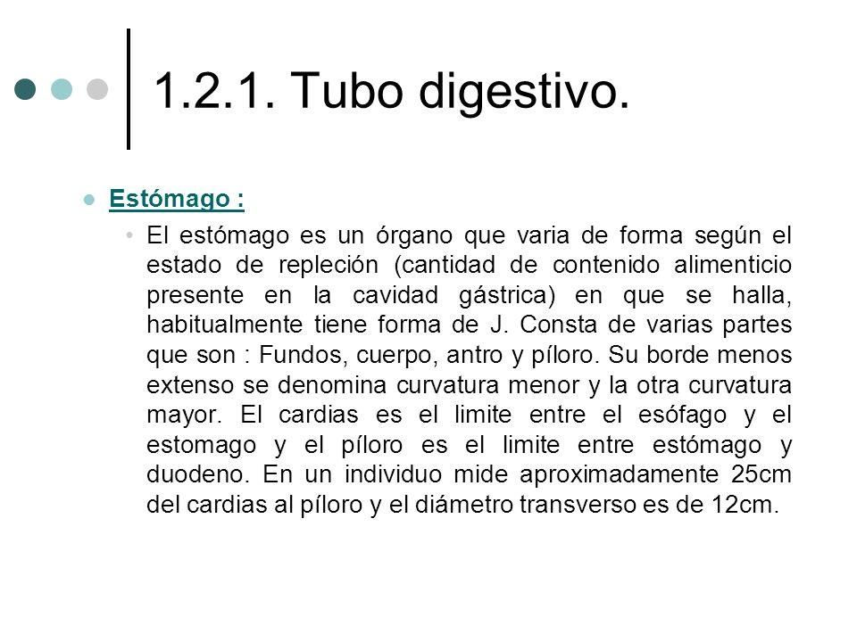 1.2.1. Tubo digestivo. Estómago : Estómago : El estómago es un órgano que varia de forma según el estado de repleción (cantidad de contenido alimentic