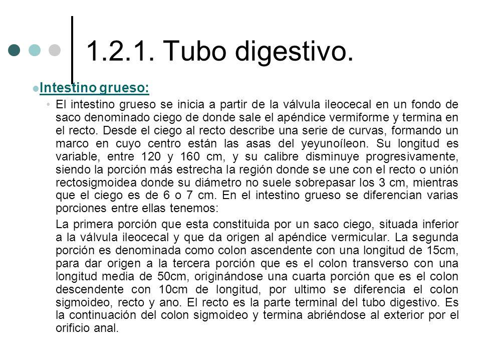 1.2.1. Tubo digestivo. Intestino grueso: Intestino grueso: El intestino grueso se inicia a partir de la válvula ileocecal en un fondo de saco denomina