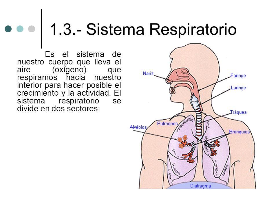 1.3.- Sistema Respiratorio Es el sistema de nuestro cuerpo que lleva el aire (oxígeno) que respiramos hacia nuestro interior para hacer posible el cre