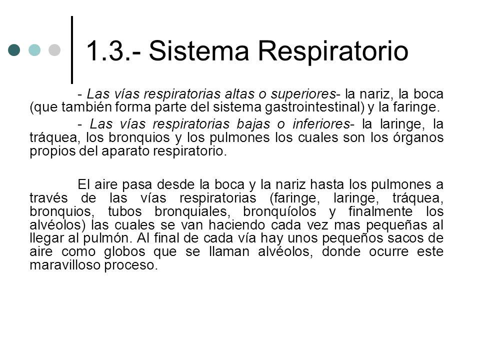 1.3.- Sistema Respiratorio - Las vías respiratorias altas o superiores- la nariz, la boca (que también forma parte del sistema gastrointestinal) y la