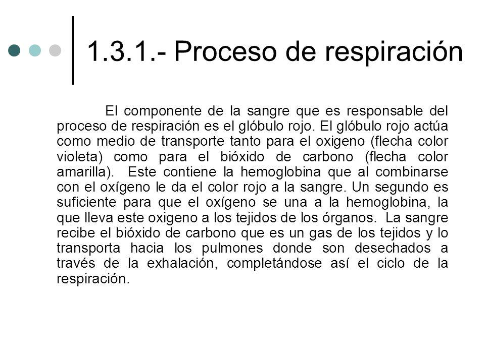 1.3.1.- Proceso de respiración El componente de la sangre que es responsable del proceso de respiración es el glóbulo rojo. El glóbulo rojo actúa como
