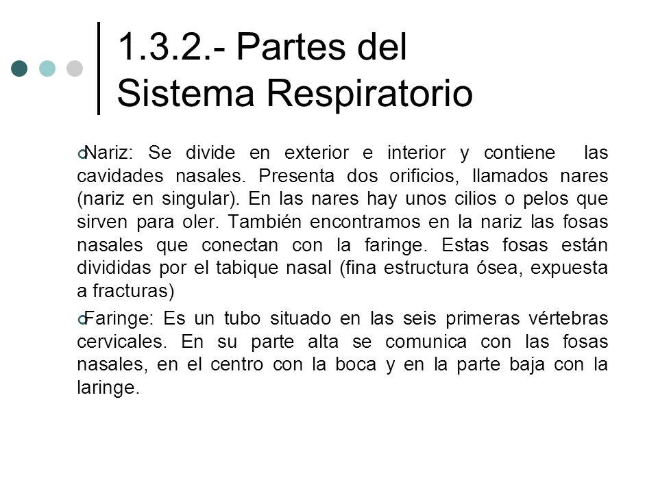 1.3.2.- Partes del Sistema Respiratorio Nariz: Se divide en exterior e interior y contiene las cavidades nasales. Presenta dos orificios, llamados nar