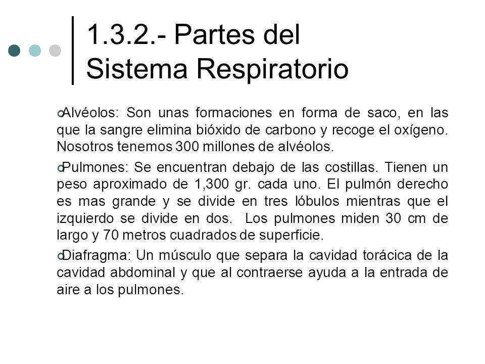 1.3.2.- Partes del Sistema Respiratorio Alvéolos: Son unas formaciones en forma de saco, en las que la sangre elimina bióxido de carbono y recoge el o