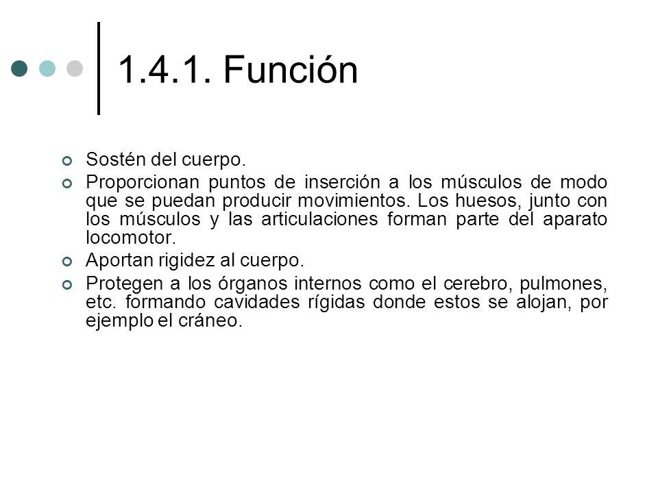 1.4.1. Función Sostén del cuerpo. Proporcionan puntos de inserción a los músculos de modo que se puedan producir movimientos. Los huesos, junto con lo