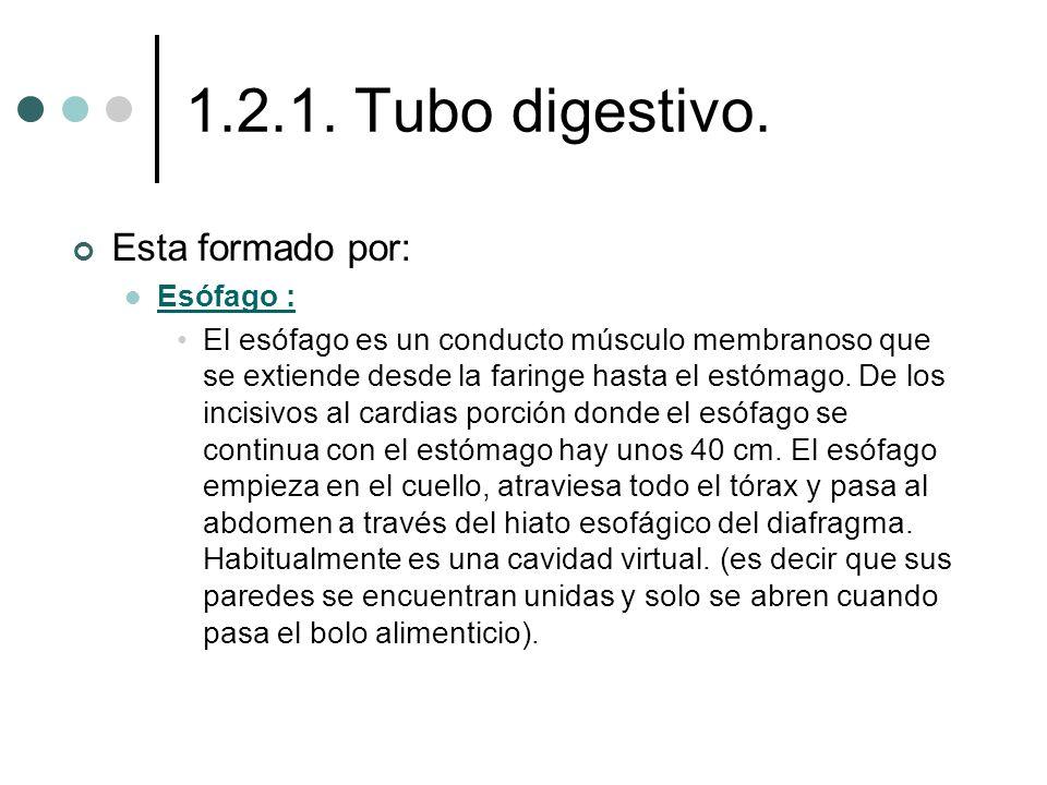 1.2.1. Tubo digestivo. Esta formado por: Esófago : El esófago es un conducto músculo membranoso que se extiende desde la faringe hasta el estómago. De