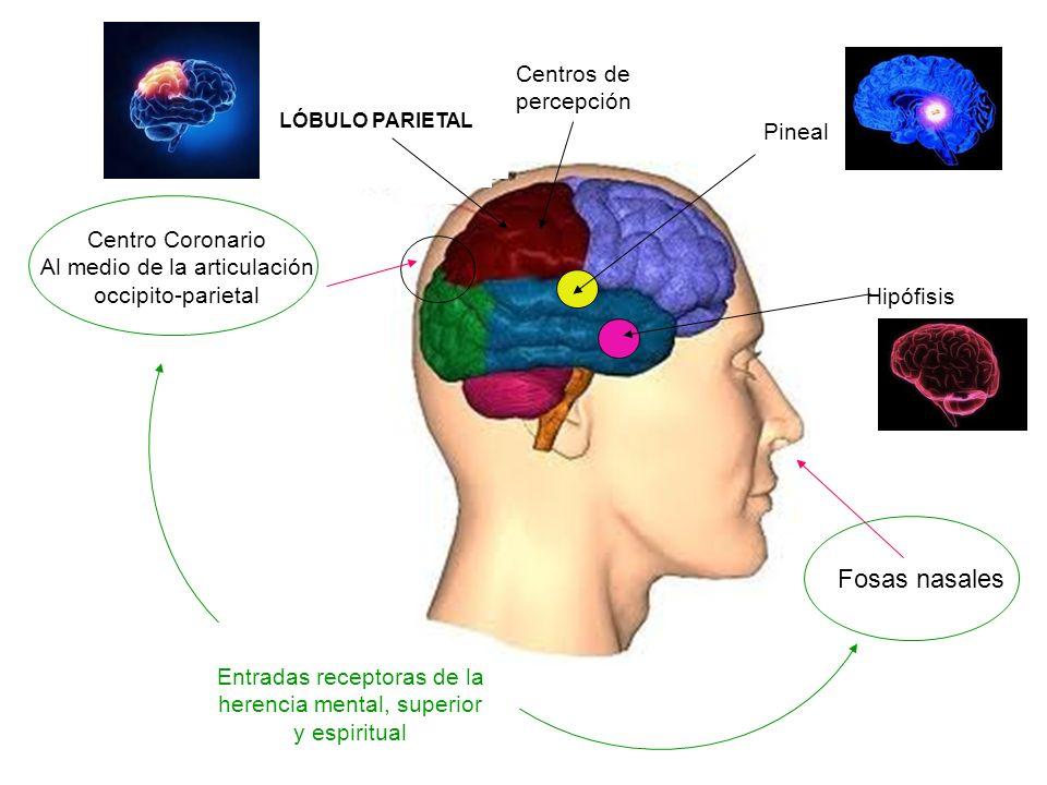 Centro Coronario Al medio de la articulación occipito-parietal LÓBULO PARIETAL Fosas nasales Entradas receptoras de la herencia mental, superior y espiritual Hipófisis Pineal Centros de percepción