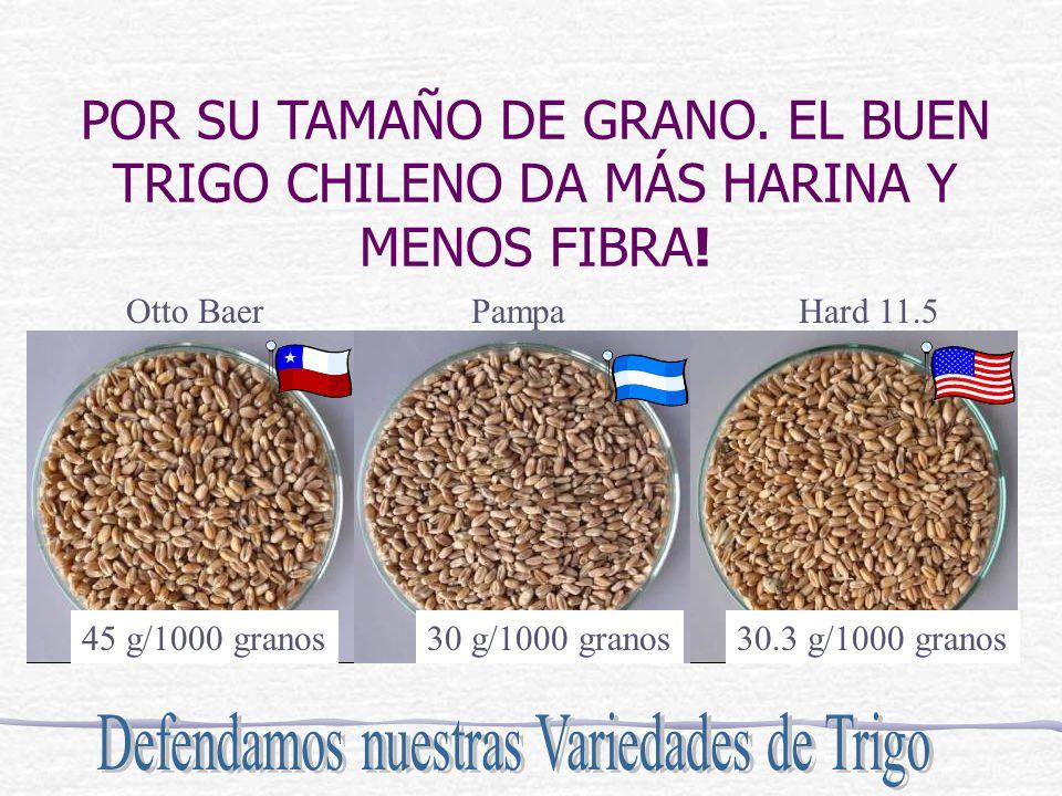 POR SU TAMAÑO DE GRANO. EL BUEN TRIGO CHILENO DA MÁS HARINA Y MENOS FIBRA! Otto BaerPampaHard 11.5 45 g/1000 granos30 g/1000 granos30.3 g/1000 granos