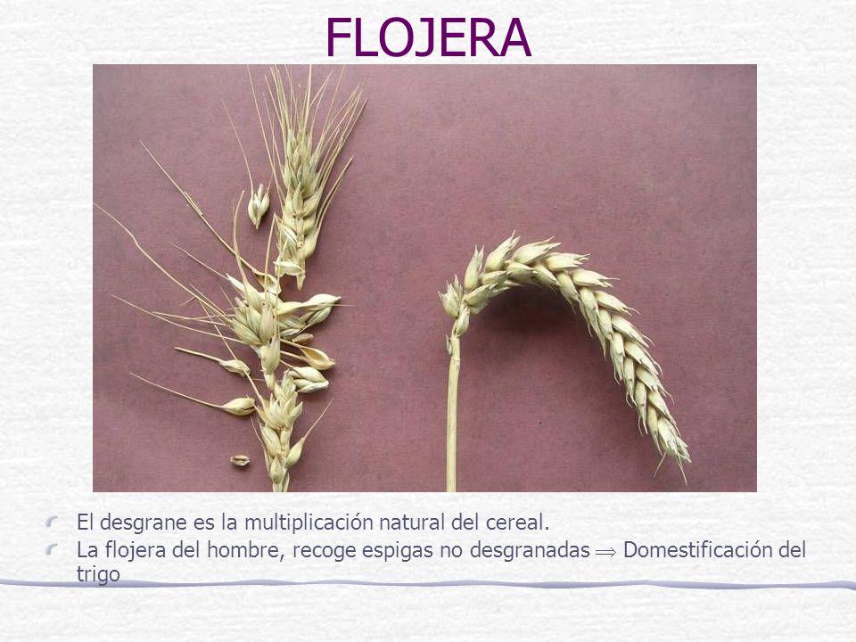El desgrane es la multiplicación natural del cereal. La flojera del hombre, recoge espigas no desgranadas Domestificación del trigo FLOJERA