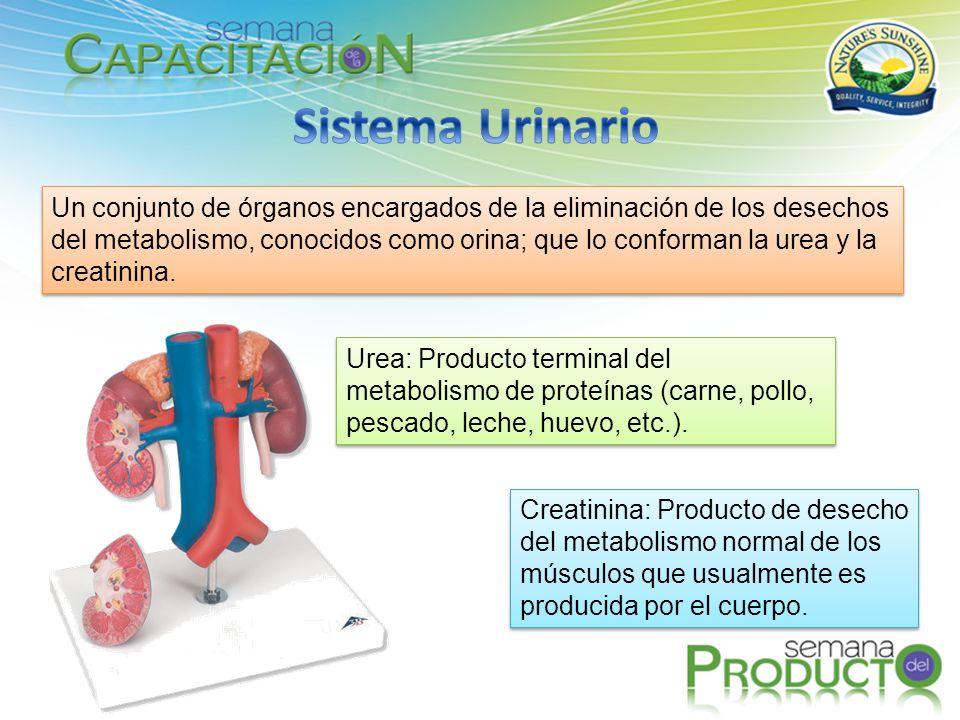 Un conjunto de órganos encargados de la eliminación de los desechos del metabolismo, conocidos como orina; que lo conforman la urea y la creatinina. U