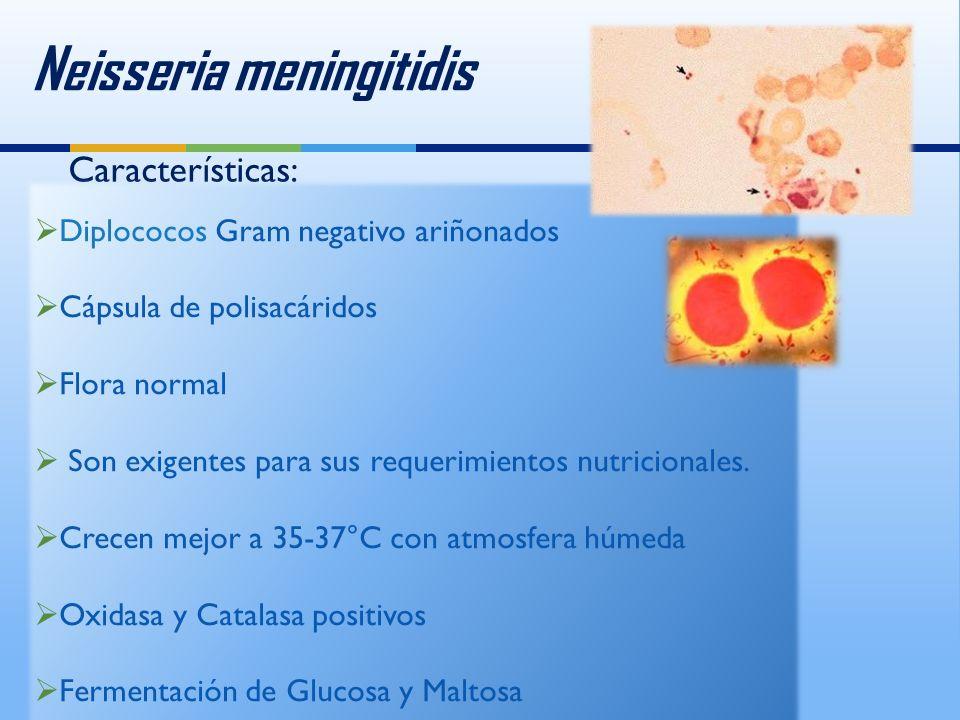 Neisseria meningitidis Características: Diplococos Gram negativo ariñonados Cápsula de polisacáridos Flora normal Son exigentes para sus requerimientos nutricionales.