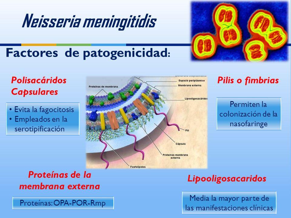 Neisseria meningitidis Polisacáridos Capsulares Evita la fagocitosis Empleados en la serotipificación Evita la fagocitosis Empleados en la serotipificación Pilis o fimbrias Permiten la colonización de la nasofaringe Media la mayor parte de las manifestaciones clínicas Lipooligosacaridos Proteínas de la membrana externa Proteínas: OPA-POR-Rmp Factores de patogenicidad :