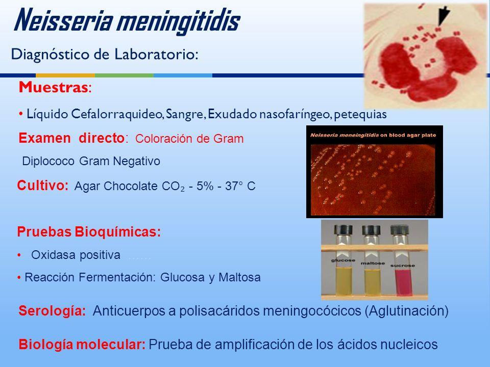 Neisseria meningitidis Diagnóstico de Laboratorio: Muestras: Líquido Cefalorraquideo, Sangre, Exudado nasofaríngeo, petequias Examen directo: Coloración de Gram Diplococo Gram Negativo Serología: Anticuerpos a polisacáridos meningocócicos (Aglutinación) Biología molecular: Prueba de amplificación de los ácidos nucleicos Pruebas Bioquímicas: Oxidasa positiva …… Reacción Fermentación: Glucosa y Maltosa Cultivo: Agar Chocolate CO - 5% - 37° C