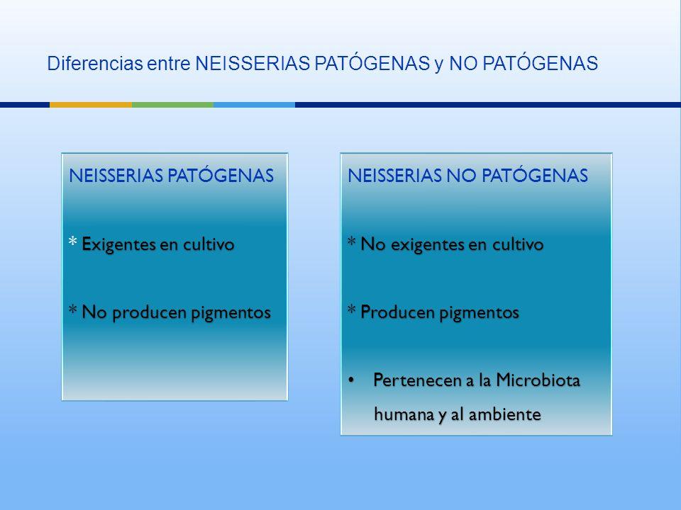 Diferencias entre NEISSERIAS PATÓGENAS y NO PATÓGENAS NEISSERIAS PATÓGENAS Exigentes en cultivo * Exigentes en cultivo * No producen pigmentos NEISSERIAS PATÓGENAS Exigentes en cultivo * Exigentes en cultivo * No producen pigmentos NEISSERIAS NO PATÓGENAS * No exigentes en cultivo * Producen pigmentos Pertenecen a la Microbiota Pertenecen a la Microbiota humana y al ambiente humana y al ambiente NEISSERIAS NO PATÓGENAS * No exigentes en cultivo * Producen pigmentos Pertenecen a la Microbiota Pertenecen a la Microbiota humana y al ambiente humana y al ambiente