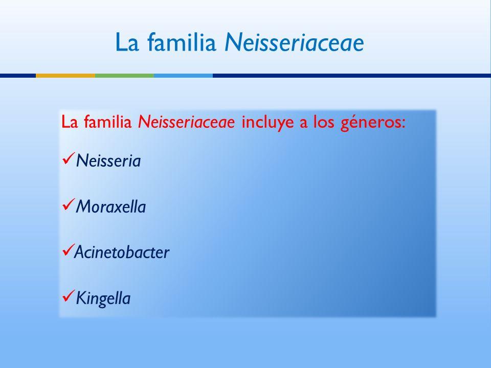 La familia Neisseriaceae La familia Neisseriaceae incluye a los géneros: Neisseria Moraxella Acinetobacter Kingella La familia Neisseriaceae incluye a los géneros: Neisseria Moraxella Acinetobacter Kingella