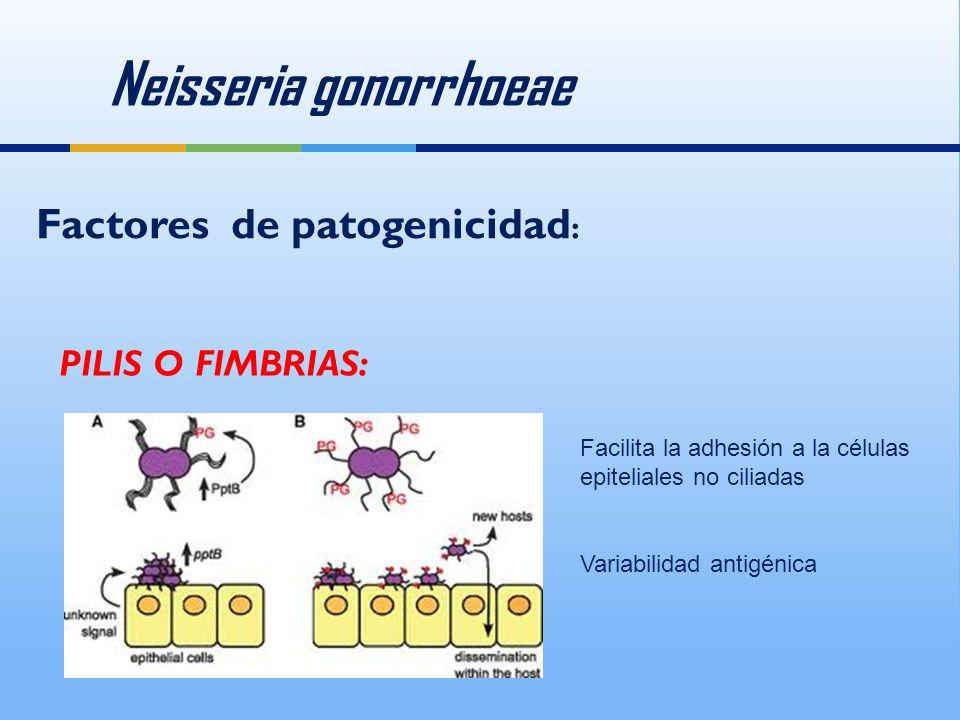 Neisseria gonorrhoeae Factores de patogenicidad : PILIS O FIMBRIAS: Facilita la adhesión a la células epiteliales no ciliadas Variabilidad antigénica