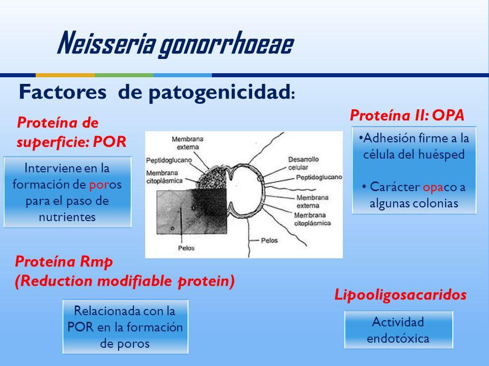 Neisseria gonorrhoeae Proteína de superficie: POR Interviene en la formación de poros para el paso de nutrientes Proteína II: OPA Adhesión firme a la célula del huésped Carácter opaco a algunas colonias Adhesión firme a la célula del huésped Carácter opaco a algunas colonias Proteína Rmp (Reduction modifiable protein) Relacionada con la POR en la formación de poros Lipooligosacaridos Actividad endotóxica Factores de patogenicidad :
