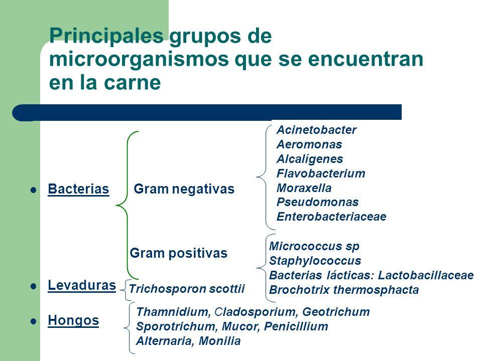 Principales grupos de microorganismos que se encuentran en la carne Bacterias Gram negativas Bacterias Gram positivas Levaduras Hongos Acinetobacter A