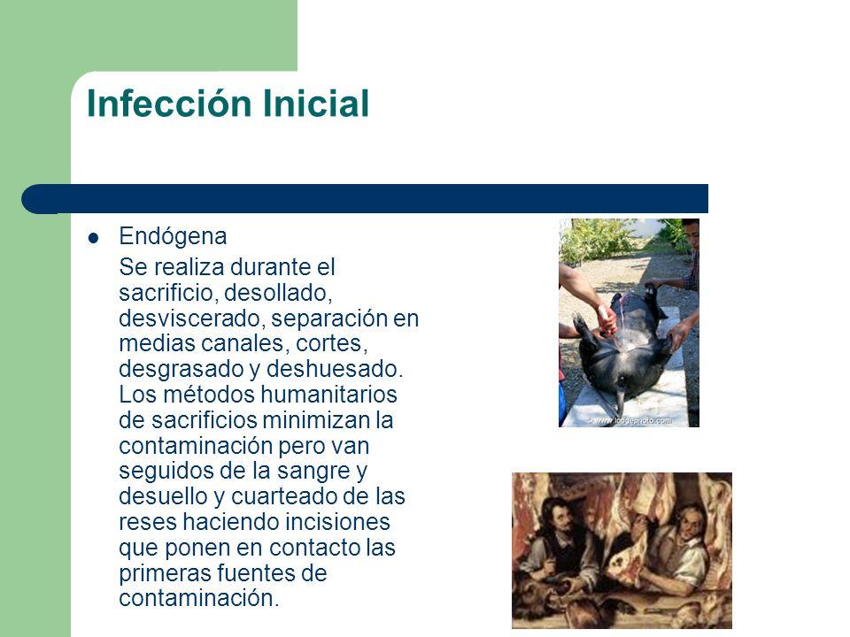 Infección Inicial Endógena Se realiza durante el sacrificio, desollado, desviscerado, separación en medias canales, cortes, desgrasado y deshuesado. L