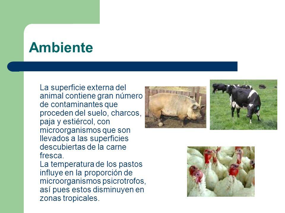 Ambiente La superficie externa del animal contiene gran número de contaminantes que proceden del suelo, charcos, paja y estiércol, con microorganismos