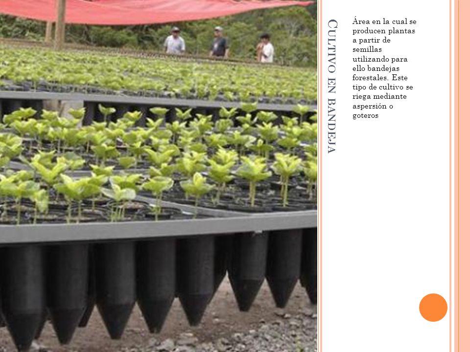C ULTIVO EN BANDEJA Área en la cual se producen plantas a partir de semillas utilizando para ello bandejas forestales. Este tipo de cultivo se riega m