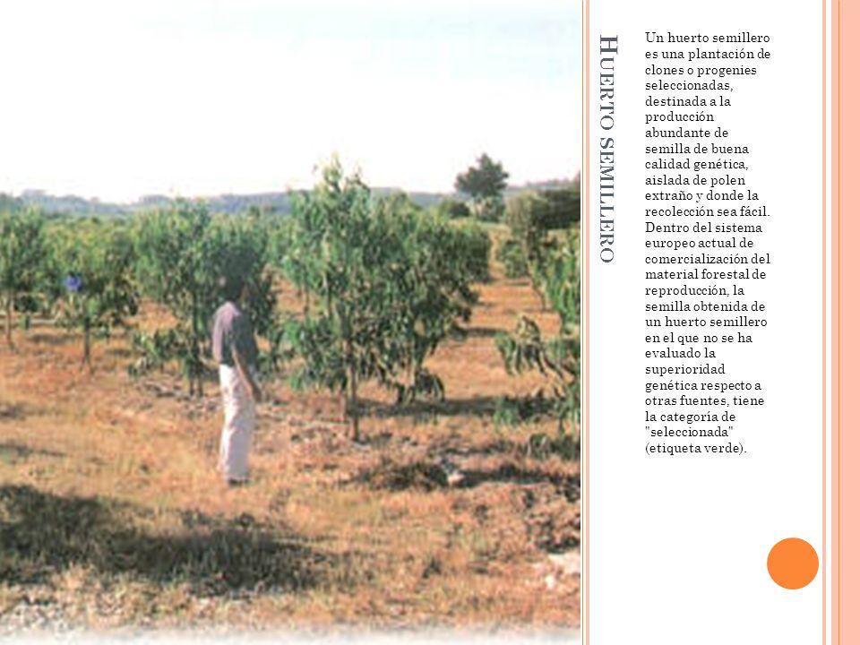 H UERTO SEMILLERO Un huerto semillero es una plantación de clones o progenies seleccionadas, destinada a la producción abundante de semilla de buena calidad genética, aislada de polen extraño y donde la recolección sea fácil.