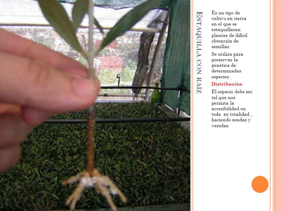 E STAQUILLA CON RAÍZ Es un tipo de cultivo en tierra en el que se estaquillaran plantas de difícil obtención de semillas. Se utiliza para preservar la