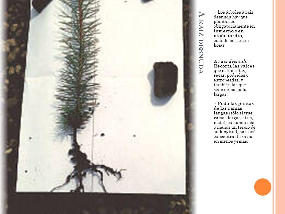 A RAÍZ DESNUDA Los árboles a raíz desnuda hay que plantarlos obligatoriamente en invierno o en otoño tardío, cuando no tienen hojas. A raíz desnuda Re