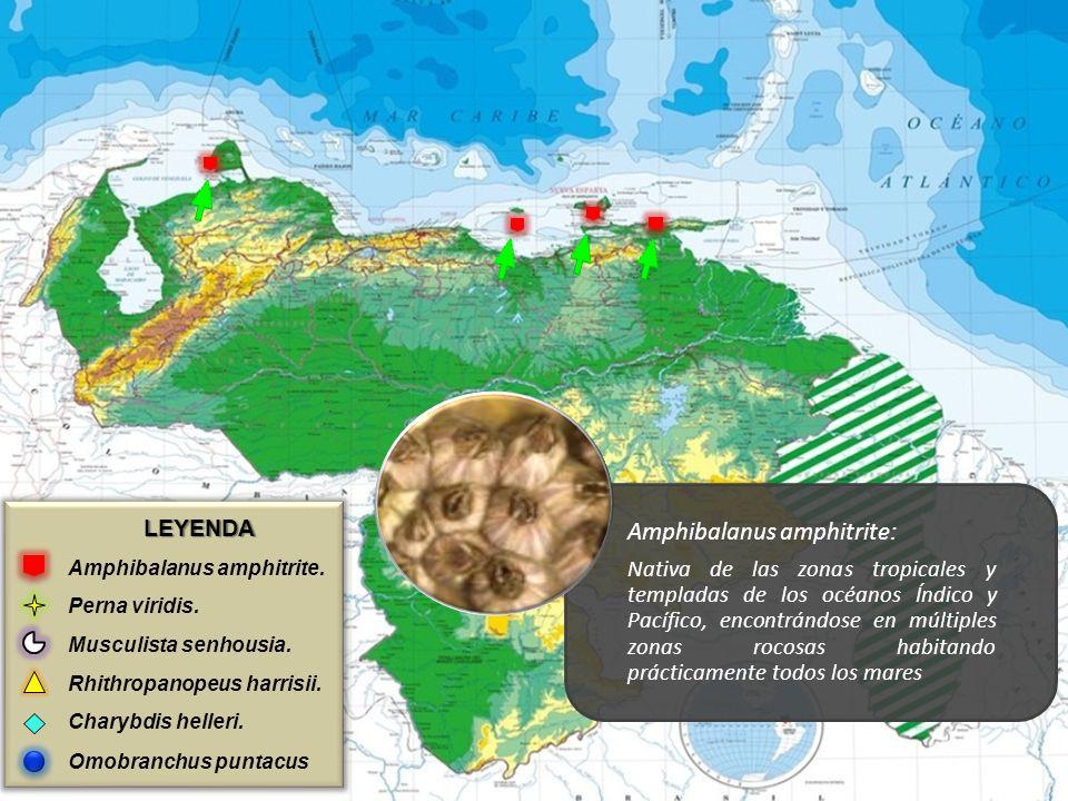 LEYENDA Amphibalanus amphitrite. Perna viridis. Musculista senhousia. Rhithropanopeus harrisii. Charybdis helleri. Omobranchus puntacus Amphibalanus a