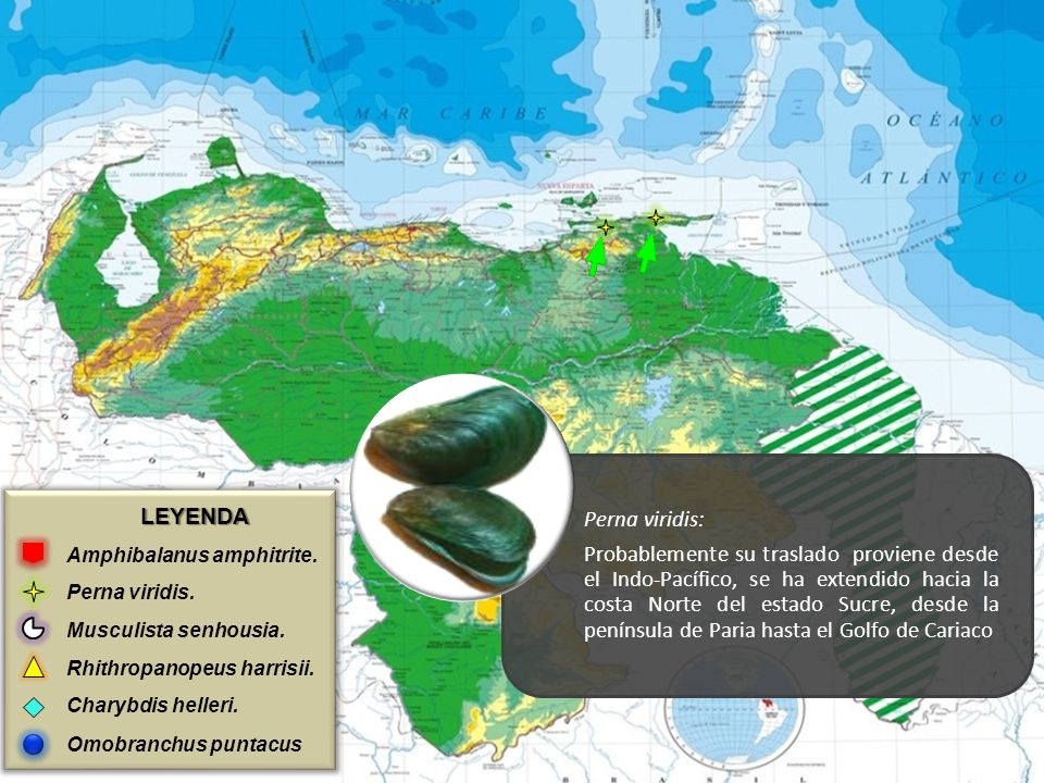 LEYENDA Amphibalanus amphitrite. Perna viridis. Musculista senhousia. Rhithropanopeus harrisii. Charybdis helleri. Omobranchus puntacus Perna viridis: