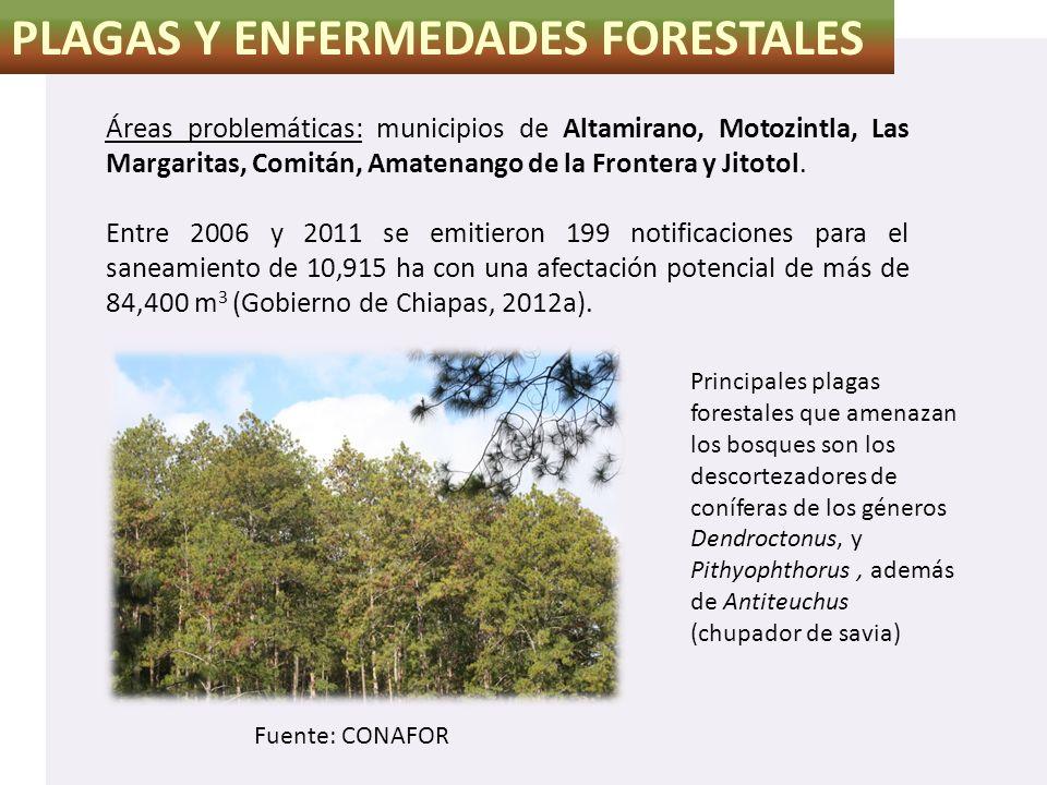 PLAGAS Y ENFERMEDADES FORESTALES Áreas problemáticas: municipios de Altamirano, Motozintla, Las Margaritas, Comitán, Amatenango de la Frontera y Jitot