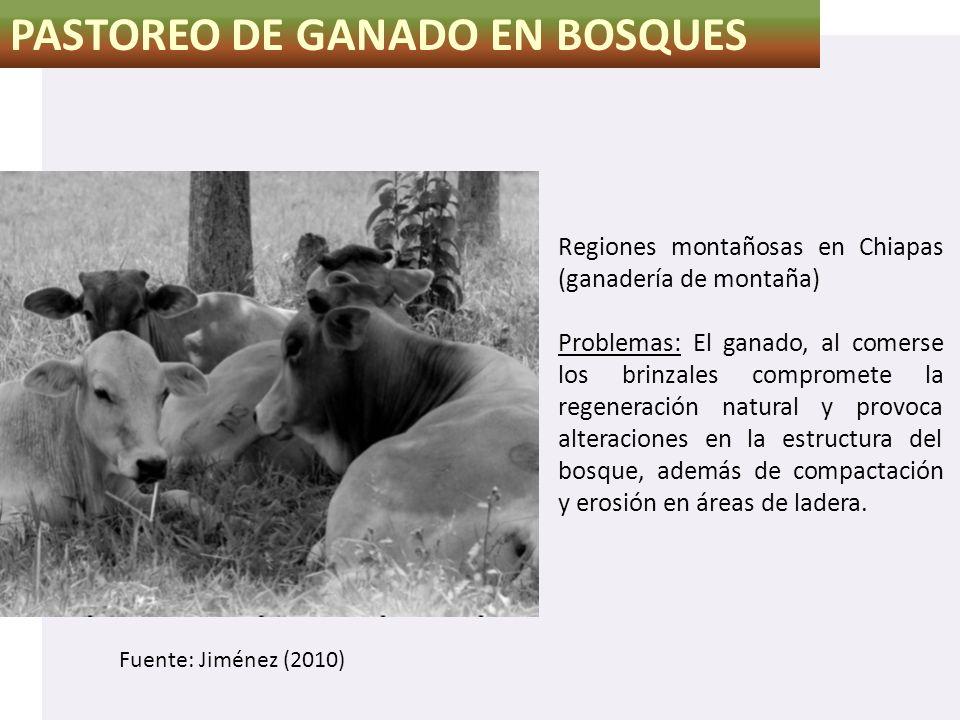 PASTOREO DE GANADO EN BOSQUES Regiones montañosas en Chiapas (ganadería de montaña) Problemas: El ganado, al comerse los brinzales compromete la regen