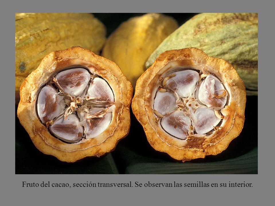 Fruto del cacao, sección transversal. Se observan las semillas en su interior.