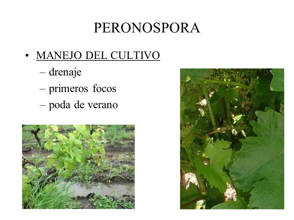 PERONOSPORA Condiciones favorables: –invierno húmedo –primavera lluviosa –verano lluvioso –22-25ºC –tejido joven, en activo crecimiento.