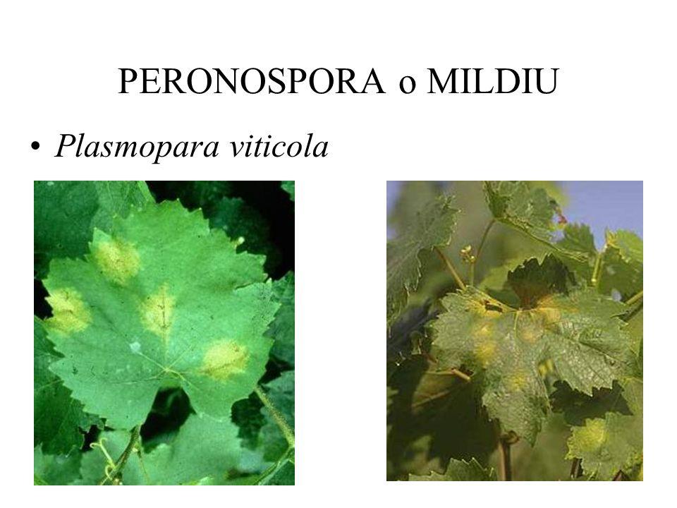ENFERMEDADES DE LA VID. Ing. Agr. Vivienne Gepp, MSc. Curso de Protección Vegetal Frutícola. Año 2004.