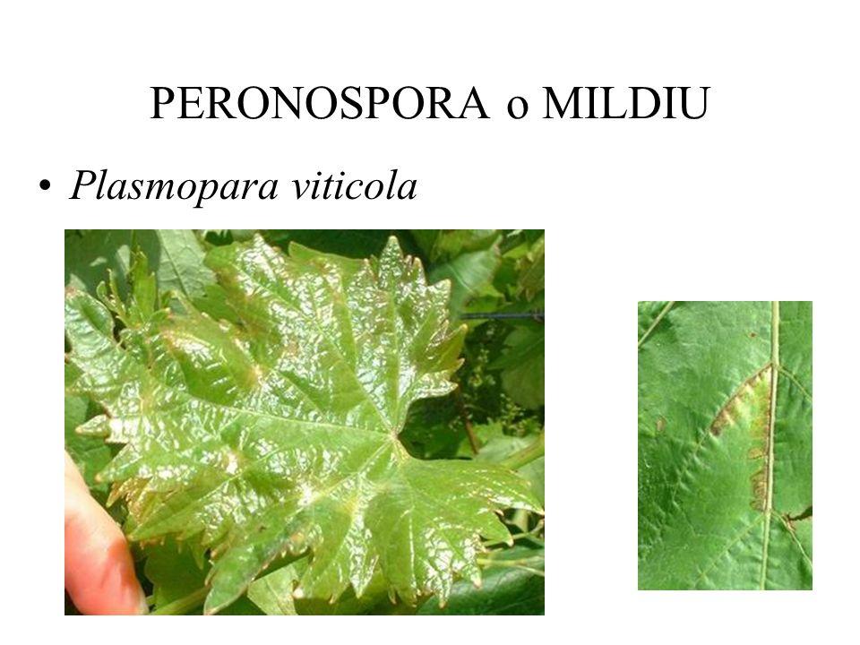MANEJO CULTURAL Plantas sanas Poda y conducción Fertilización y manejo de suelo