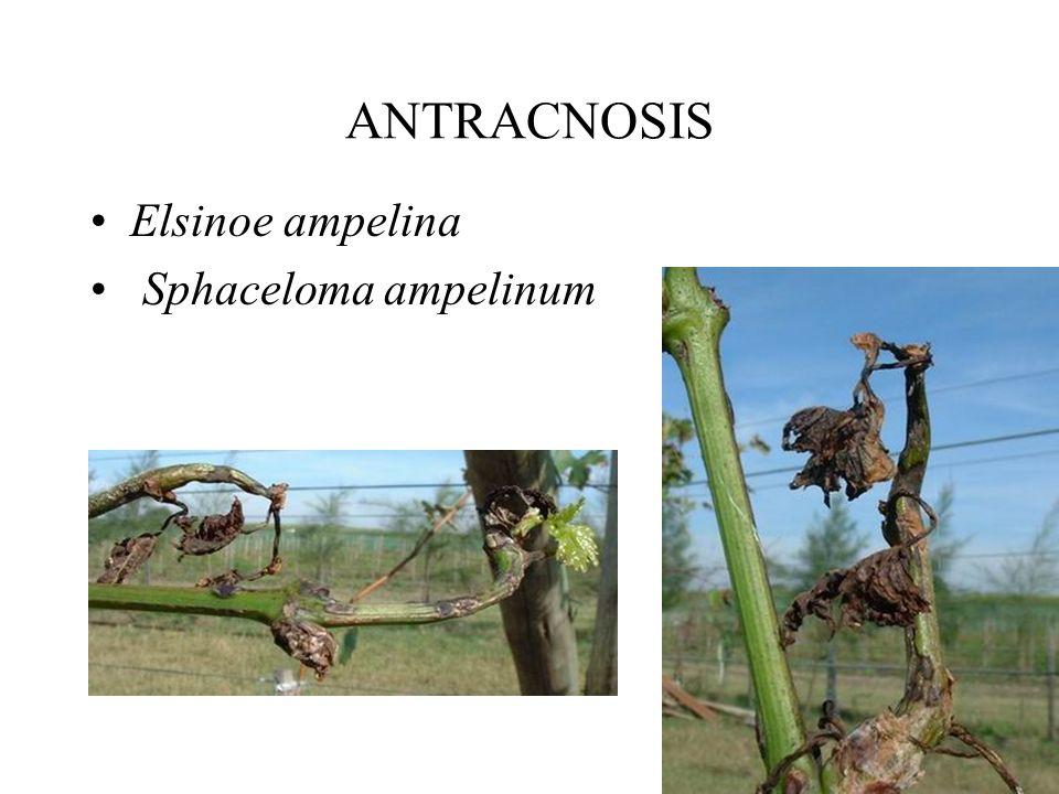 EXCORIOSIS Poda Fungicidas: –¿Dinitro ortro cresol, arsenito de sodio? –brotes 1-3 cm y 6-12 cm Captan, Folpet, Maneb, etc.