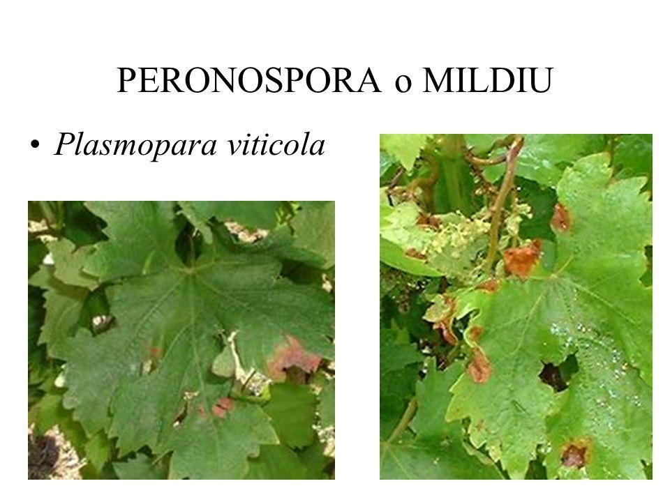 EXCORIOSIS Poda Fungicidas: –¿Dinitro ortro cresol, arsenito de sodio.