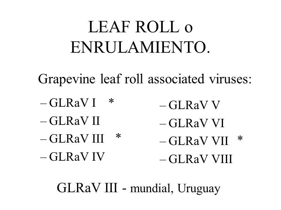 VIRUS DE LA VID. 50 agentes Los más importantes: Closterovirus - Enrulamiento (Leaf roll) Nepovirus - Degeneración infecciosa (Fan leaf, Court noue)