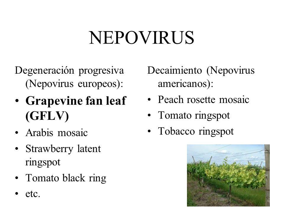ESTUDIOS DE TRANSMISIÓN DE GLRaV 3 POR CHANCHITO BLANCO EN URUGUAY Planococcus ficus plaga en vid. Maman y Peyrou (1997) - transmisión en laboratorio.