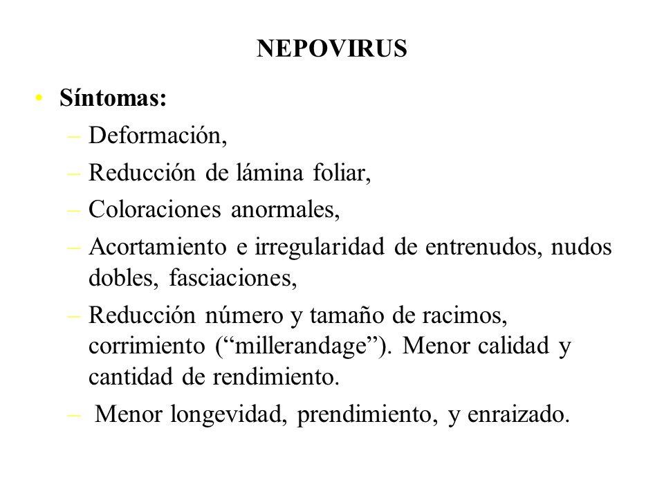 NEPOVIRUS Degeneración progresiva (Nepovirus europeos): Grapevine fan leaf (GFLV) Arabis mosaic Strawberry latent ringspot Tomato black ring etc. Deca