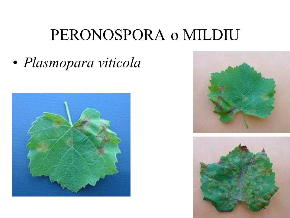 PERONOSPORA o MILDIU Plasmopara viticola
