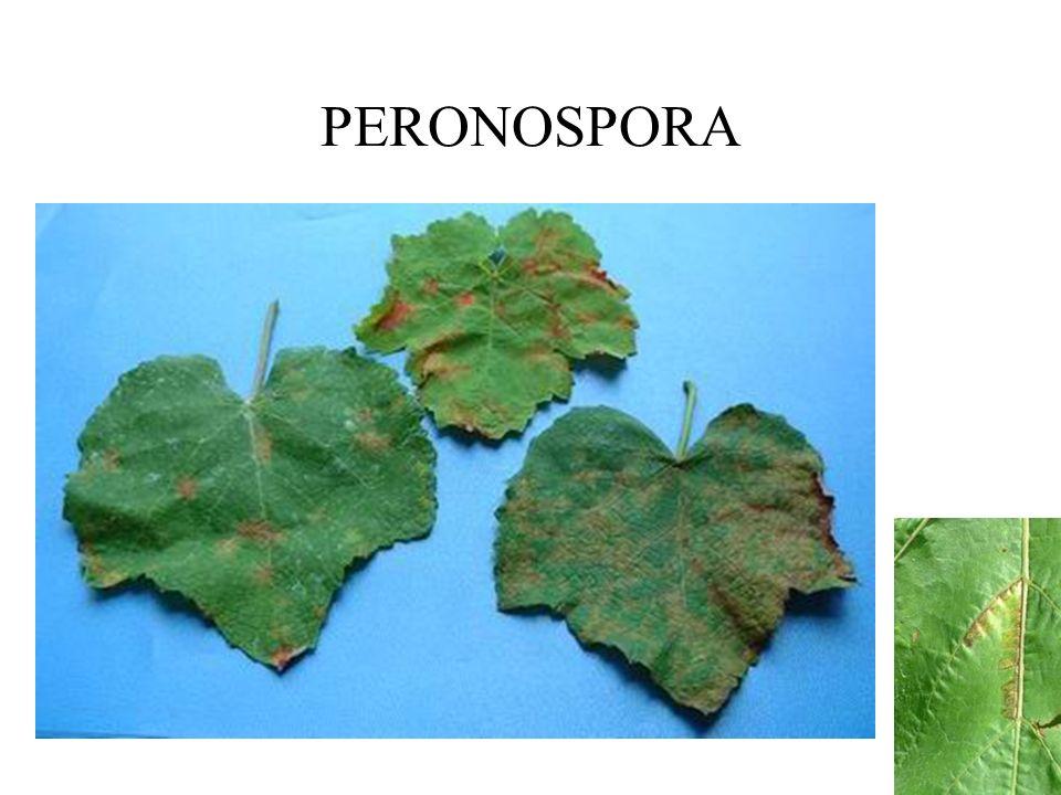 PERONOSPORA FUNGICIDAS SISTÉMICOS: En mezclas con Folpet o Mancozeb: –Fosetil aluminio (Mikal) –Metalaxil (Ridomil), Benalaxil (Galben) –Cimoxanil (Curzate, Facym-M, etc.) –Dimetomorph (Acrobat) Restricciones
