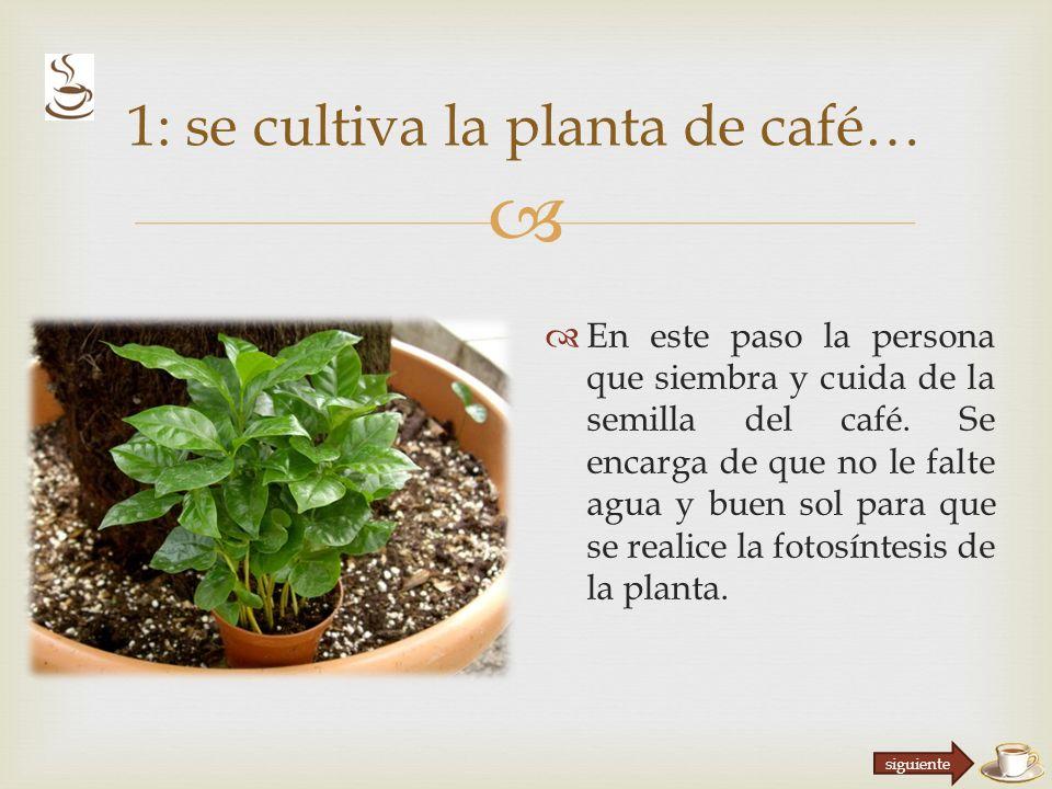 En este paso la persona que siembra y cuida de la semilla del café.