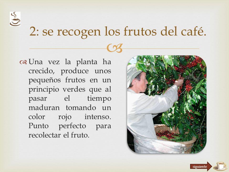 Una vez la planta ha crecido, produce unos pequeños frutos en un principio verdes que al pasar el tiempo maduran tomando un color rojo intenso.