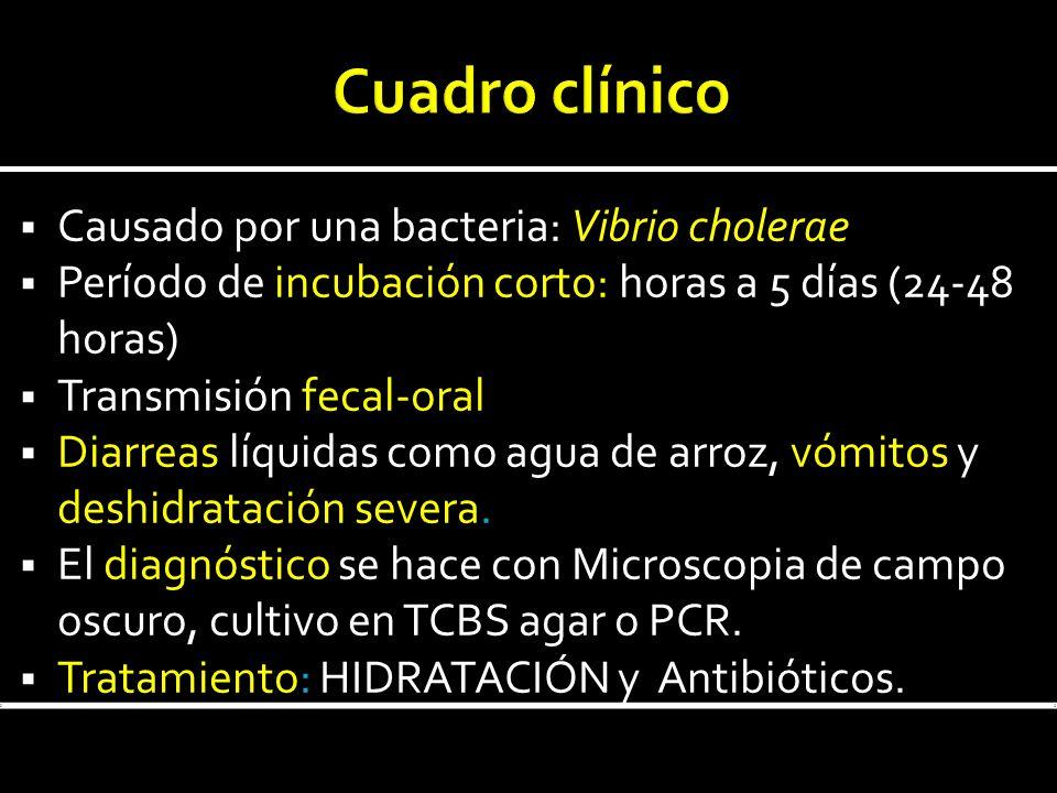 Causado por una bacteria: Vibrio cholerae Período de incubación corto: horas a 5 días (24-48 horas) Transmisión fecal-oral Diarreas líquidas como agua