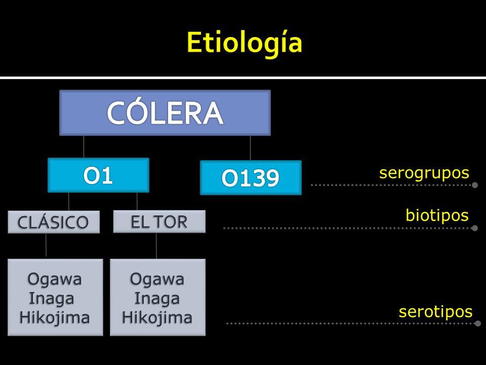 CLÁSICOCLÁSICO serogrupos biotipos serotipos EL TOR OgawaInagaHikojima OgawaInagaHikojima OgawaInagaHikojimaOgawaInagaHikojima