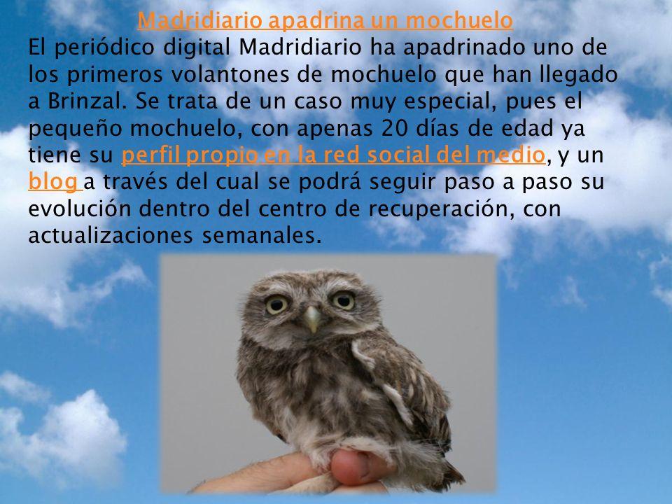 Madridiario apadrina un mochuelo El periódico digital Madridiario ha apadrinado uno de los primeros volantones de mochuelo que han llegado a Brinzal.