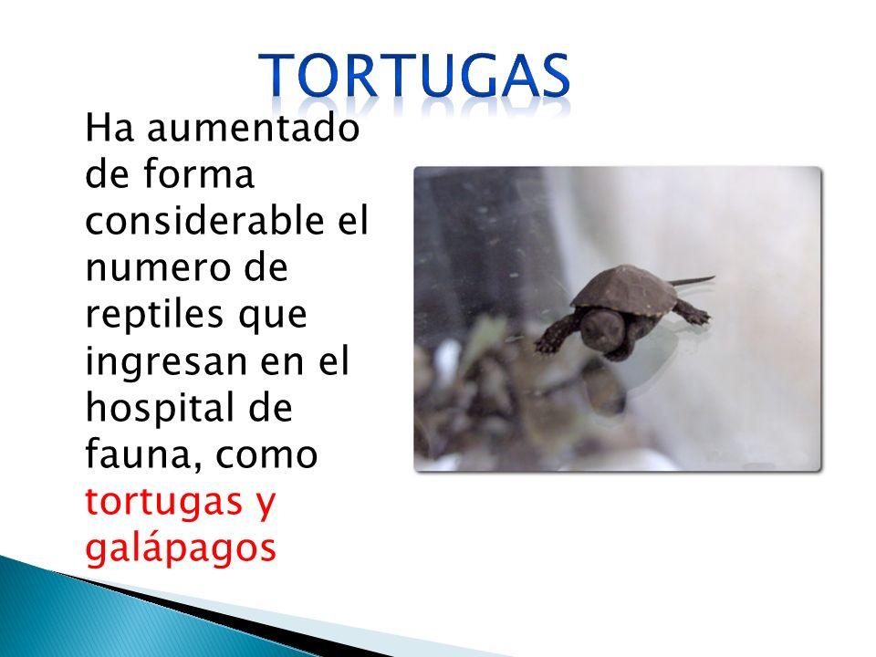 Ha aumentado de forma considerable el numero de reptiles que ingresan en el hospital de fauna, como tortugas y galápagos